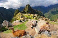 Llamas που στέκονται σε Machu Picchu αγνοούν στο Περού Στοκ Εικόνες