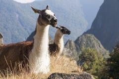 Llamas σε Machu Picchu, περουβιανό ιστορικό άδυτο Στοκ Εικόνες