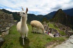 Llamas σε Machu Picchu Περού Στοκ Φωτογραφία