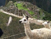 Llamas σε Machu Picchu Στοκ Εικόνα