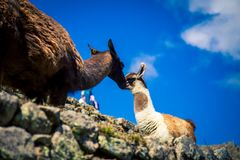 Llamas σε Machu Picchu Στοκ Φωτογραφία
