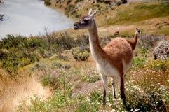 Llamas στη λιμνοθάλασσα Στοκ Εικόνες