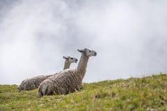 Llamas στις καταστροφές Machu Picchu Inca - ιερή κοιλάδα, Περού Στοκ φωτογραφία με δικαίωμα ελεύθερης χρήσης