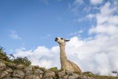 Llamas στις καταστροφές Machu Picchu Inca - ιερή κοιλάδα, Περού Στοκ Φωτογραφίες