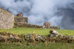 Llamas στις καταστροφές Machu Picchu Inca - ιερή κοιλάδα, Περού Στοκ εικόνες με δικαίωμα ελεύθερης χρήσης