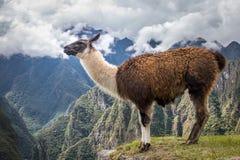 Llamas στις καταστροφές Machu Picchu Inca - ιερή κοιλάδα, Περού Στοκ Εικόνα