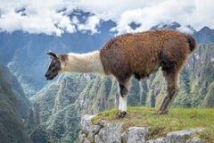 Llamas στις καταστροφές Machu Picchu Inca - ιερή κοιλάδα, Περού Στοκ Εικόνες