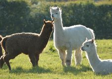 llamas τρία στοκ φωτογραφίες με δικαίωμα ελεύθερης χρήσης