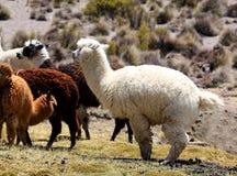 llamas альпаки Стоковая Фотография RF