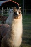 llamas Στοκ φωτογραφίες με δικαίωμα ελεύθερης χρήσης