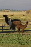 Llamas. This image of the 5 llamas in the fenced in area was taken in western MT Stock Photos