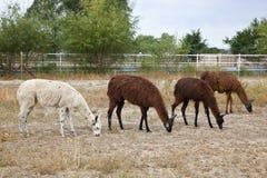 Free Llamas Royalty Free Stock Photos - 26923448