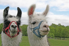 Llamas. On a rural farm are very inquisitive Royalty Free Stock Photo