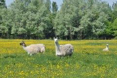 Llamas Stock Image