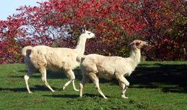 Llamas. Two llamas running across a field Stock Photo