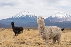 Llamas against volcanos. Cute llamas of Altiplano, Bolivia, South America Stock Photos