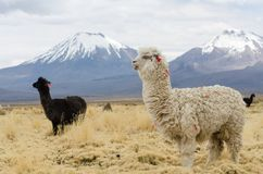 Llamas against volcanos. Cute decorated llamas against volcanos of Altiplano, Bolivia, South America Royalty Free Stock Photo
