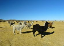 Llamas and alpacas Stock Photo