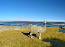 Llamas and alpacas Royalty Free Stock Photo