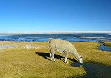 Llamas and alpacas Royalty Free Stock Image