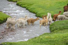 Llamas on green grass Royalty Free Stock Photography