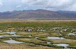 Llamas and alpacas graze in the mountains near Arequipa, Peru. Royalty Free Stock Photo