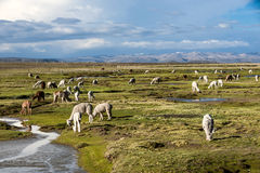 Llamas and alpacas, Peru Royalty Free Stock Photography