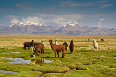 Llamas on altiplano Royalty Free Stock Image
