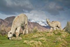 Llamas on altiplano Royalty Free Stock Photos