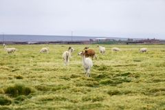 Llamas in the Altiplano outside a small town Royalty Free Stock Photo