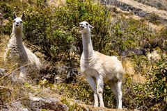 Llamas traveling in a village royalty free stock photography