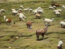 Llamas in the Andes Royalty Free Stock Photos