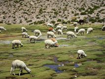 Llamas in the Andes Stock Photos