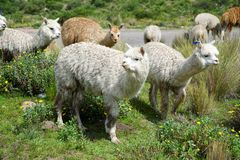 Llamas in the Arequipa Region stock photography