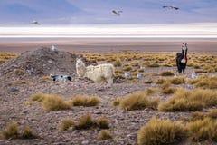 Llamas in Bolivean altiplano - Potosi Department, Bolivia Royalty Free Stock Images