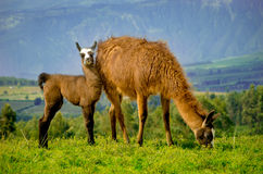 Llamas on Cochasqui piramids, baby mother, Ecuador Stock Images