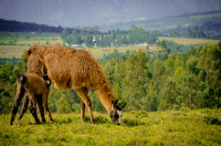 Llamas on Cochasqui piramids, baby mother, Ecuador Royalty Free Stock Photos