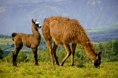 Llamas on Cochasqui piramids, baby mother, Ecuador Stock Photos