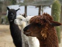 Llamas de la alpaca Fotografía de archivo libre de regalías