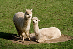 Llamas in Dust bowl Royalty Free Stock Photo