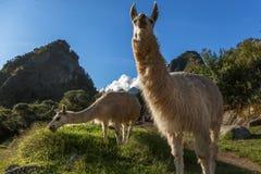 Llamas eating grass on the meadow with Wayna Picchu mountain in. The background, Macchu Pikchu, Cuzco Region, Peru royalty free stock photos