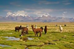 Llamas en altiplano Imagen de archivo libre de regalías