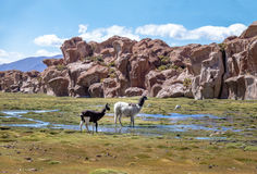 Llamas en el altiplano de Bolivean con formaciones de roca en el fondo - departamento de Potosi, Bolivia Fotos de archivo