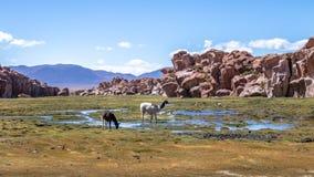 Llamas en el altiplano de Bolivean con formaciones de roca en el fondo - departamento de Potosi, Bolivia Imagen de archivo