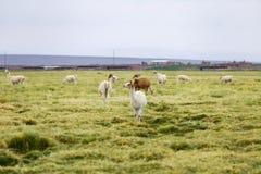 Llamas en el Altiplano fuera de una pequeña ciudad foto de archivo libre de regalías