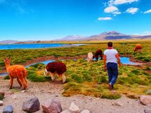 Llamas en el desierto Imagen de archivo libre de regalías