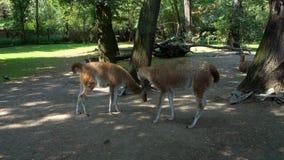 Llamas en el parque zoológico en el verano almacen de video