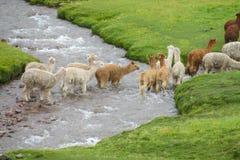 Llamas en hierba verde Fotografía de archivo libre de regalías