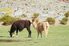 Llamas en hierba verde Imágenes de archivo libres de regalías