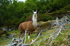 Llamas en las montañas Imagenes de archivo